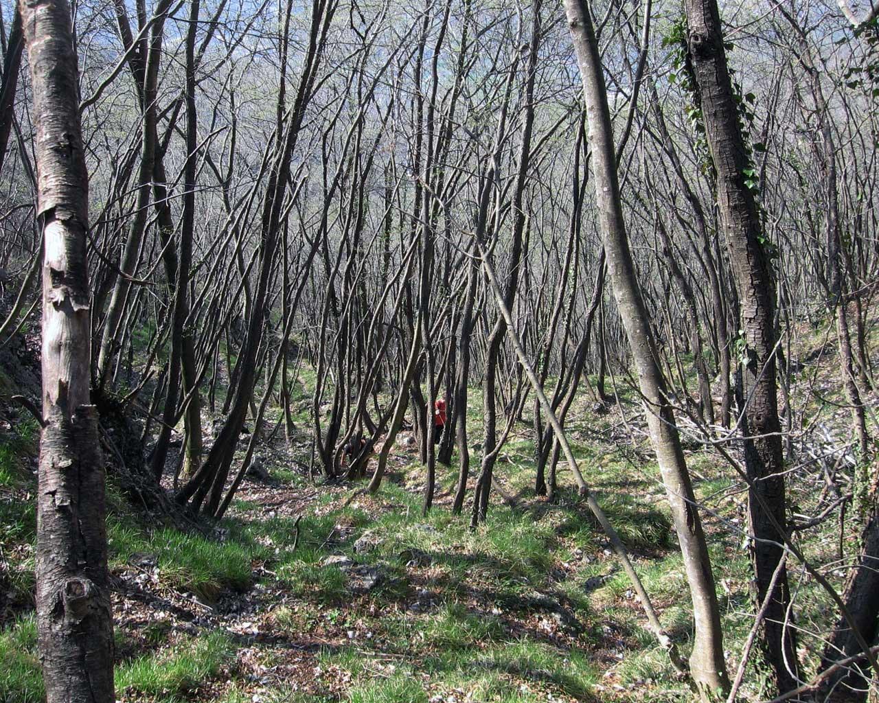 L'intrico di alberi lungo la variante della Scodella
